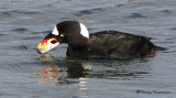 Surf Scoter washing clam 3c.jpg