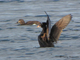 Surf Scoter flapping wings 1a.jpg