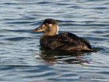 Surf Scoter female 1a.jpg