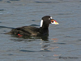 C.V.C.C. gallery - Scoters, Long-tails and Mergs
