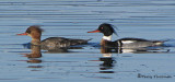Red-breasted Merganser pair 3b.jpg