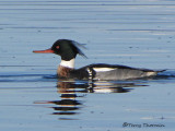 Red-breasted Merganser 6c.jpg