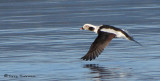 Long-tailed Duck in flight 2c.jpg