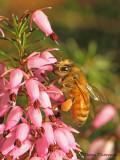Apis melifera - Honey Bee on Winter Heather 2a.jpg