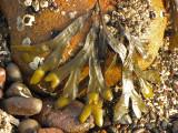 Fucus gardneri - Rockweed 1b.jpg