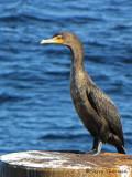 Double-crested Cormorant immature 1b.jpg