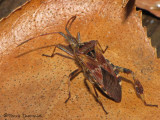 Leaf-footed Bugs - Coreidae of B,C.