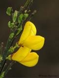 Scotch Broom - Cytisus scoparius 2c.jpg