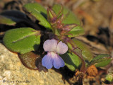 Small-flowered Blue-eyed Mary - Collinsia parviflora 1b.jpg