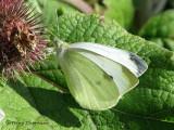Whites and sulfurs - Pieridae of B.C.