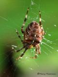 Araneus diadematus - Garden Spider 3.jpg