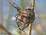Araneus diadematus - Garden Spiders mating 5b.jpg