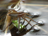 Dolomedes triton - Six-spotted Fishing Spider 1a.JPG