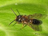 Andrena sp. - Andrenid Bee A1b.jpg