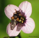 Myopa sp. - Thick-headed fly A2b.jpg