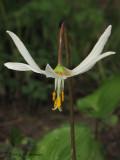 White Fawn Lily - Erythronium oregonum 2a.jpg