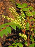 Oregon Grape - Mahonia nervosa 1a.jpg