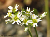 Common Draba - Draba verna .jpg
