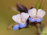 Small-flowered Blue-eyed Mary - Collinsia parviflora 3b.jpg