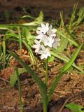 Howell's brodiaea - Brodiaea howellii 1a.jpg