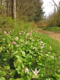 Fawn Lilies along Tsolum River trail 1a.jpg