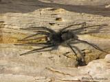 Pardosa lowriei - Wolf Spider A1a.jpg