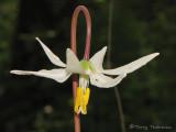 White Fawn Lily - Erythronium oregonum 4a.jpg