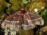 Giant Silk Moths - Saturniidae of B.C.