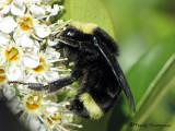 Bombus vosnesenskii - Yellow-faced Bumble Bee 1a.JPG