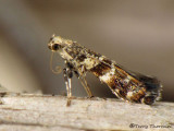 Caloptilia syringella 1a.jpg