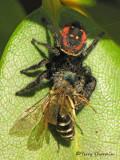 Phidippus borealis with Lasioglossum sp.- Boreal Jumping Spider 3a.jpg