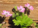 Doves Foot Geranium - Geranium molle 2a.jpg