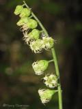 Fringecup - Tellima grandiflora 1a.jpg