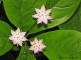 Broad-leaved Starflower - Trientalis latifolia 1a.jpg