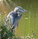 Great Blue Heron 4a.jpg