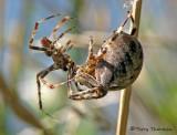 Araneus diadematus - Garden Spiders mating 1a.jpg
