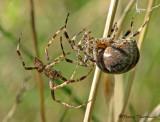 Araneus diadematus - Garden Spiders mating 2a.jpg