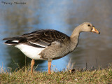 Greater White-fronted Goose juvenile 1a.jpg