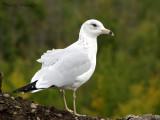 Ring-billed Gull winter plumage 2a.jpg