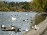 Birds at Lost Lagoon, Stanley Park, Vancouver