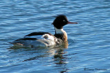 Red-breasted Merganser 1a.jpg
