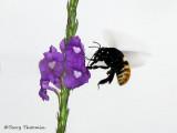 Carpenter bee in flight A2b - RN.jpg