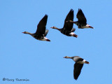 Greater White-fronted Geese in flight 1b.jpg