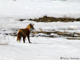 Red Fox 1a.jpg