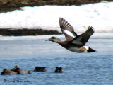 American Wigeon in flight 2a.jpg
