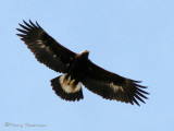 Golden Eagle juvenile in flight 1a.jpg