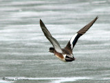 American Wigeon in flight 6a.jpg