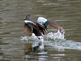 Blue-winged Teal landing 1a.jpg