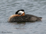 Red-necked Grebe resting 2a.jpg