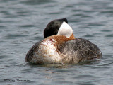 Red-necked Grebe resting 1a.jpg